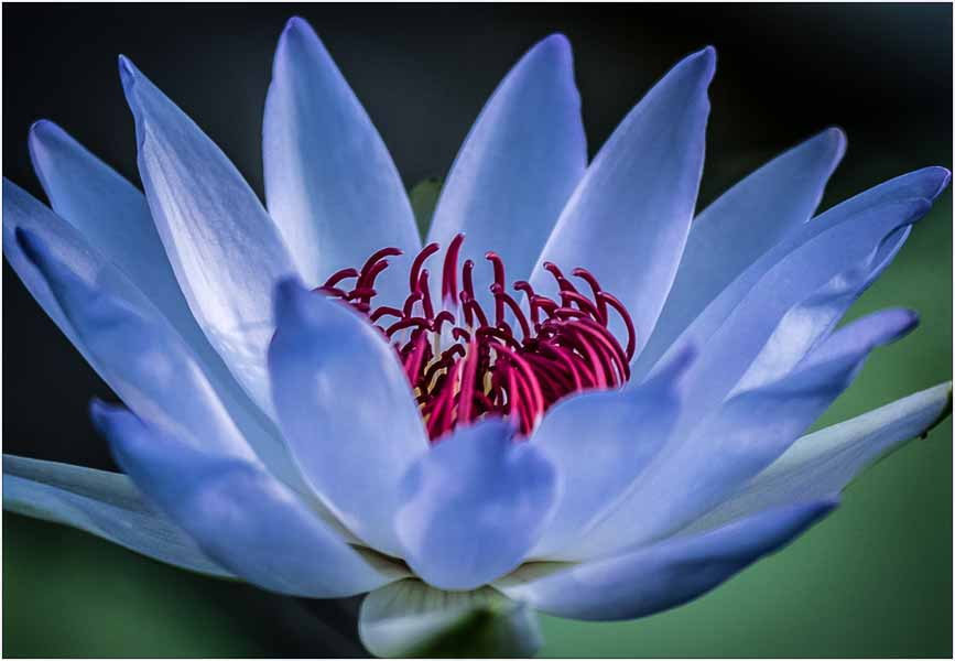 102 waterlily