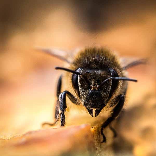 107 Honeybee