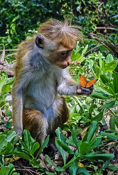 123 A Monkey and a Butterfly Sri Lanka