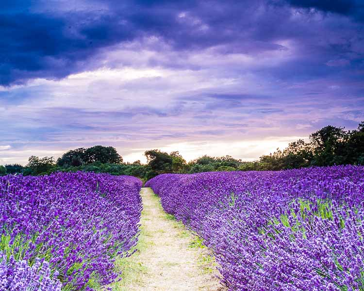 135 Lavender Field