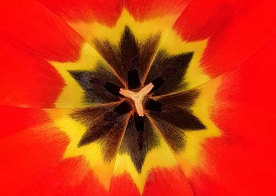 Elvio Morcillo - Tulip kaleidoscope