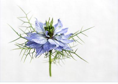 Sue Leathers - Nigella 'Blue'